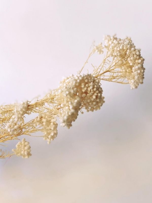Rice Flower - Bleached
