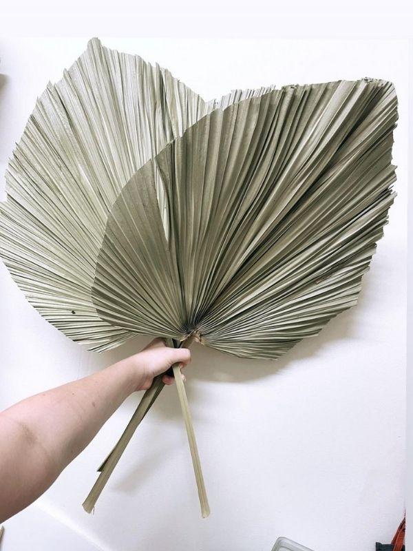 Livistonia Palm