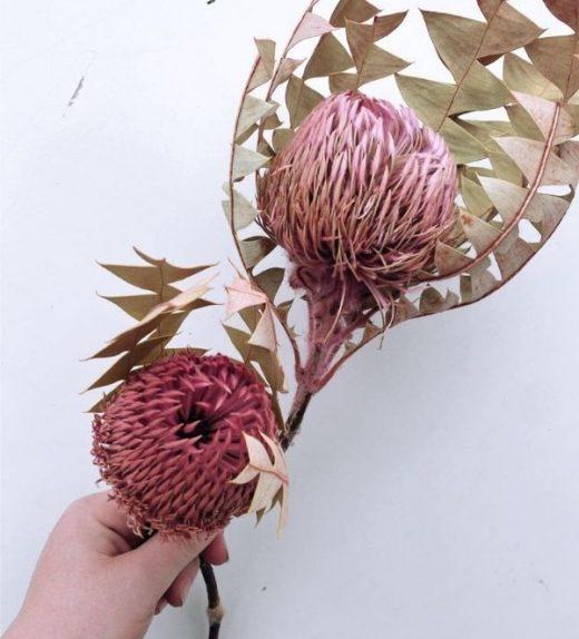 Baxteri Banksia (1)
