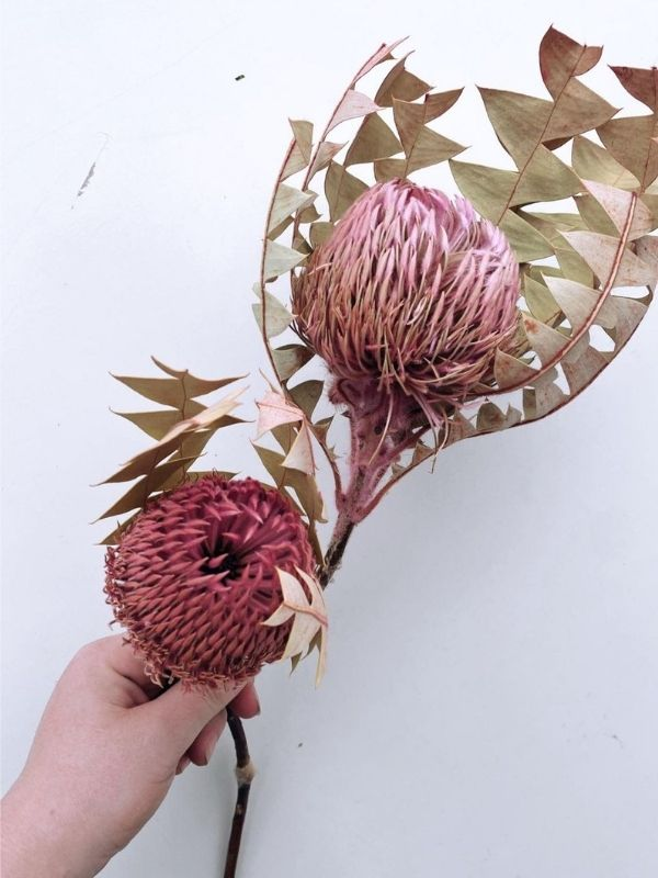 Baxteri Banksia