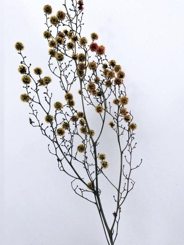 Stirlingia (Mustard) (1)
