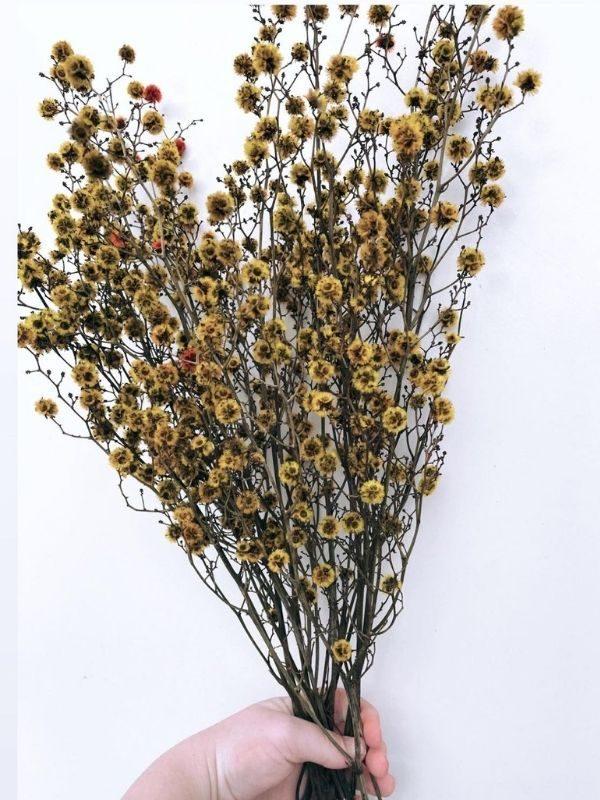 Stirlingia (Mustard) (2)